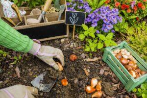 Cebulki kwiatowe – jakie wybrać na jesień?