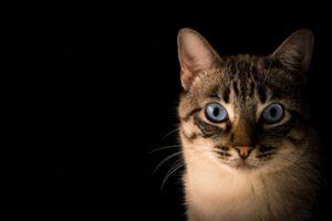 Karmy dla kota norweskiego – którą wybrać?